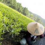 Bild Matcha Tee Ernte